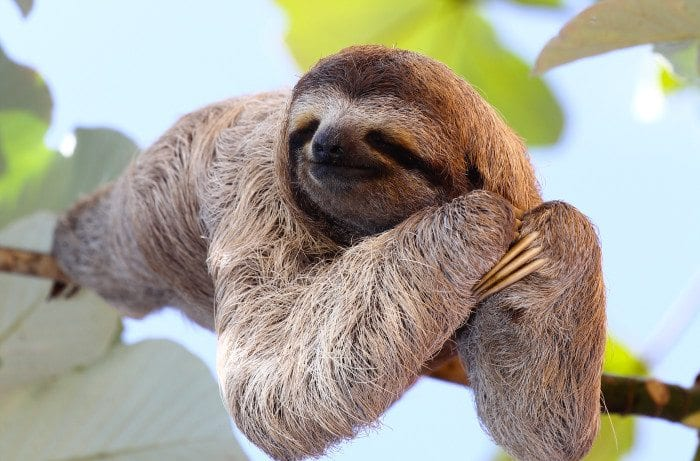 a sloth looking at you passionately.